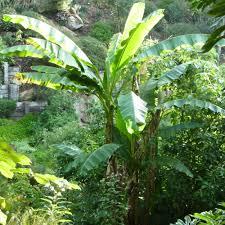 sorte de bambou planter un bananier le magazine u2014 gamm vert