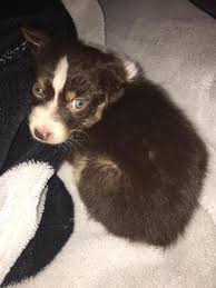 miniature australian shepherd 8 weeks the australian shepherd lovers site blog