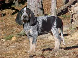 bluetick coonhound youtube 56 best lacey my blue tick coon hound site images on pinterest