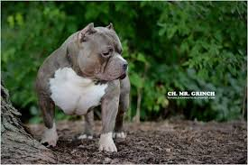 american pitbull terrier a legacy in gameness news