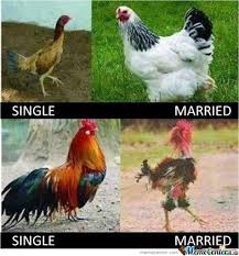 Rooster Jokes Meme - hen and rooster after marriage hens