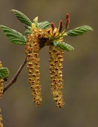 Cottonwood Tree Flowers - some deciduous trees forgo showy flowers pollinate early