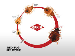 How Long Can Bed Bugs Live Without Air Bed Bug Life Cycle Eggs Nymphs U0026 Stages