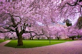 102 best cherry blossoms uw images on cherry blossoms