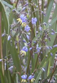 queensland native plants dianella caerulea wikipedia