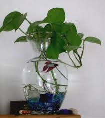 Betta In Vase 3 Easiest Freshwater Fish To Own