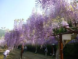walking under the violet cloud wisteria festival in okayama u0027s