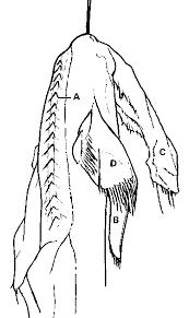 sea monster or shark an alleged plesiosaur carcass