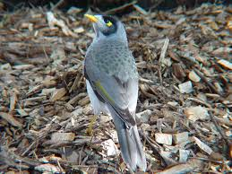 noisy miner birds in backyards