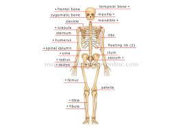 A Picture Of The Human Anatomy Human Being Anatomy Skeleton Anterior View Image Visual