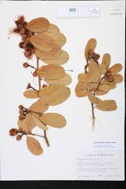 Fragrant Plants Florida - cynophalla flexuosa species page isb atlas of florida plants