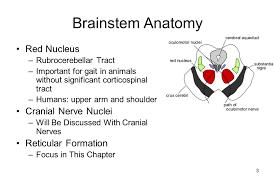 Brain Stem Anatomy Brainstem And Basal Ganglia Ppt Download