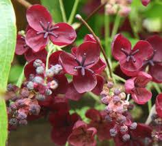 Non Invasive Climbing Plants - akebia quinata chocolate vine akebia quinata chocolate vine 2