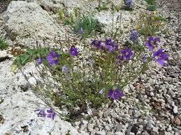 Rock Garden Society Canula Species Various Forum Topic American Rock