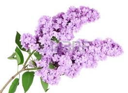lilac flowers violet lilac background stock photo picture and royalty free