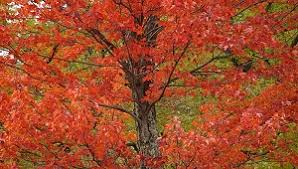 what are deciduous trees types definition exles