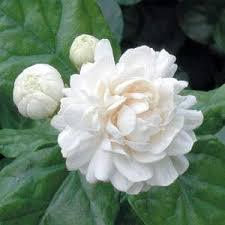 Fragrant Indoor House Plants - 152 best fragrant flowers for my garden images on pinterest