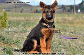 south australian german shepherd breeders german shepherds for sale