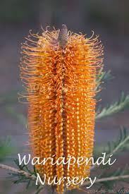 australian native plant society 319 best australian natives zone 5 6 to 9b images on pinterest