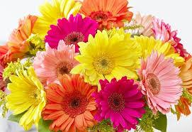 gerbera daisies send gerbera daisies flowers by steen