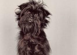 affenpinscher ottawa dogalize razas de perros affenpinscher caracteristicas y cuidados