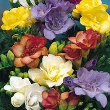 23 best flower freesia mix images on pinterest beautiful