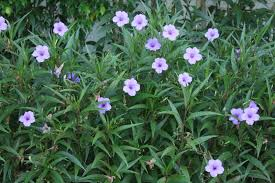 native florida plants native florida wildflowers wild petunia ruellia caroliniensis