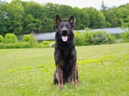 belgian shepherd kijiji aspen sable male german shepherd protection dogs and imports sold