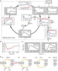 lost in transition startup of glycolysis yields subpopulations of