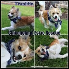 american eskimo dog houston adopt luna on american eskimo dog