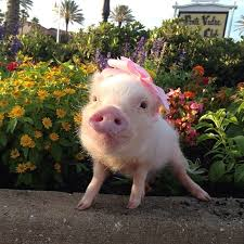 meet priscilla prettiest mini pig instagram