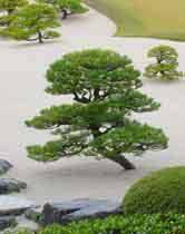 pruning pines