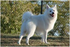 american eskimo dog maintenance american eskimo dog breeders facts pictures puppies rescue