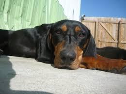 bluetick coonhound mississippi carolina coonhound rescue home