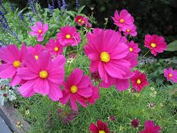 free photo pink ornamental plants flower cosmos flower max pixel
