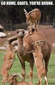 Camel Memes - drunk goat meme