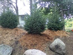 black hills spruce tree farm nursery sale mn arbor hill tree farm