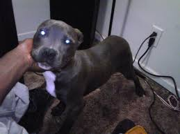 american pitbull terrier game bred bloodlines what are gotti and razor edge pitbulls go pitbull dog forums