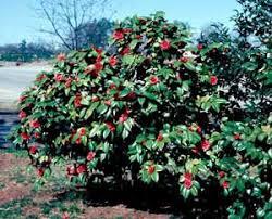 Flowering Shrubs For Partial Sun - partial sun shrubs camelia google search amelia pinterest