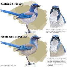 california and woodhouse u0027s scrub jay identification surfbirds