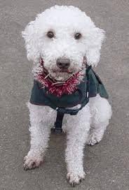 bedlington terrier guide bedlington terrier small dog breed info