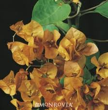 Learn More About Full Sun by Monrovia U0027s California Gold Bougainvillea Details And Information