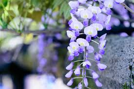 free images blossom purple petal natural botany blue flora