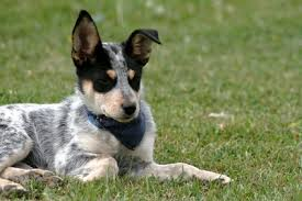 australian shepherd queensland heeler mix pictures information about dogs chihuahua heeler mix information