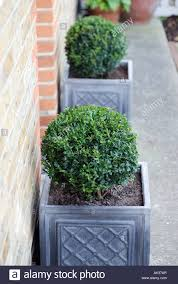 Front Door Planters by Buxus Plant In Grey Planters Outside Front Door Of House Stock