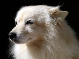 american eskimo dog rescue indiana loving dog breed pinky chai goes to town