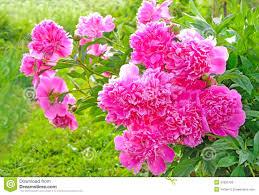 Pink Peonies Nursery White And Pink Peonies Wallpaper Pinkpeonies Interesting Pink