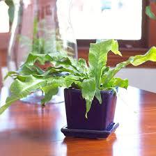 ferns to grow as houseplants