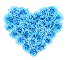 turquoise roses turquoise roses in heart shape isolated stock image image of