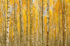 birch trees in autumn woods forest yellow foliage russian fore